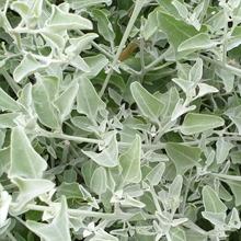 Fragrant saltbush