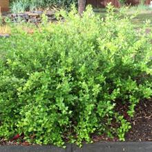 4.Holly-leaf Grevilea